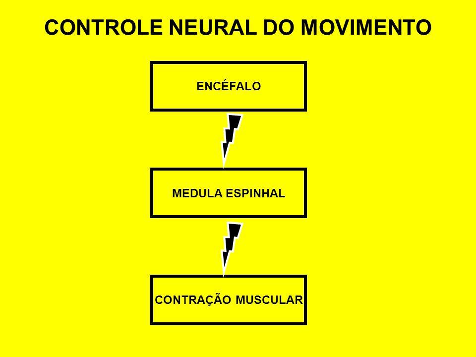 CONTROLE NEURAL DO MOVIMENTO ENCÉFALO CONTRAÇÃO MUSCULAR MEDULA ESPINHAL