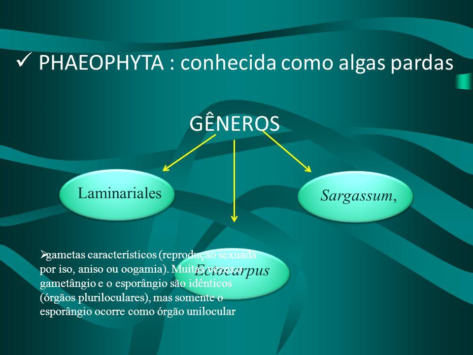Sargassum, Ectocarpus Laminariales PHAEOPHYTA : conhecida como algas pardas GÊNEROS  gametas característicos (reprodução sexuada por iso, aniso ou oo