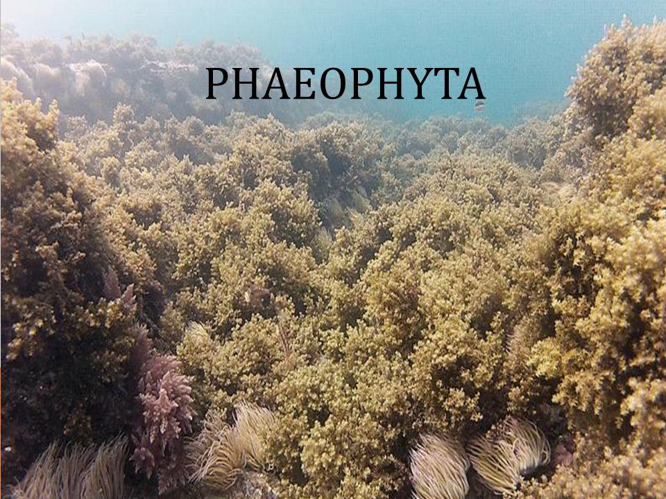 Principais ambientes: Aquático pode aparecer na zona de rebentação, presas a rochas ou substratos aquáticos.