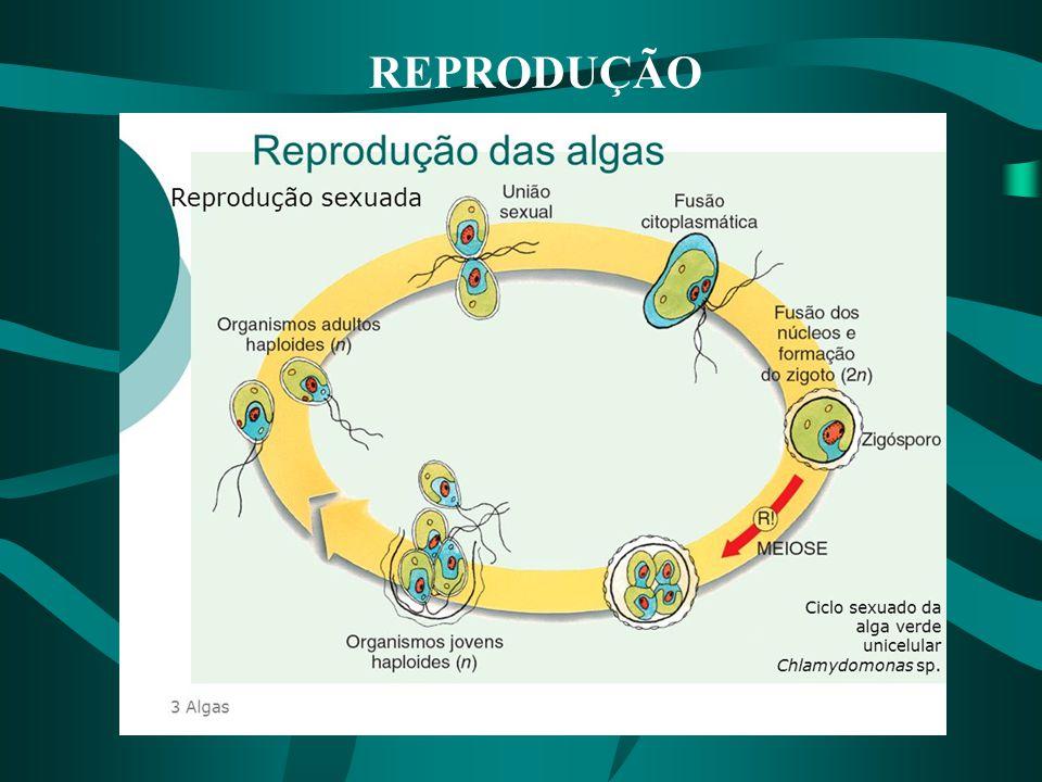  gametas característicos (reprodução sexuada por iso, aniso ou oogamia).