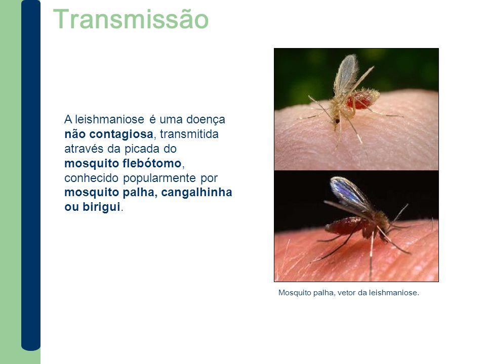 Transmissão A leishmaniose é uma doença não contagiosa, transmitida através da picada do mosquito flebótomo, conhecido popularmente por mosquito palha