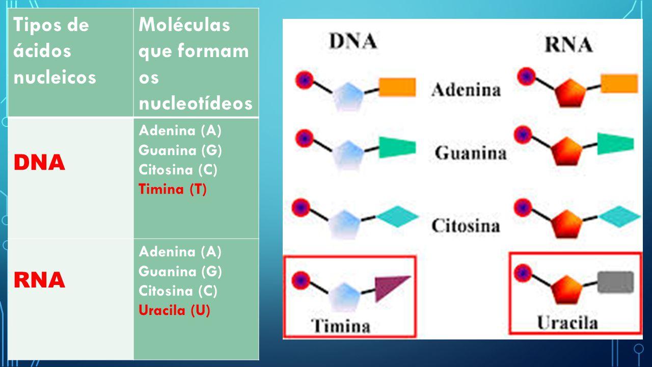 Tipos de ácidos nucleicos Moléculas que formam os nucleotídeos DNA Adenina (A) Guanina (G) Citosina (C) Timina (T) RNA Adenina (A) Guanina (G) Citosin