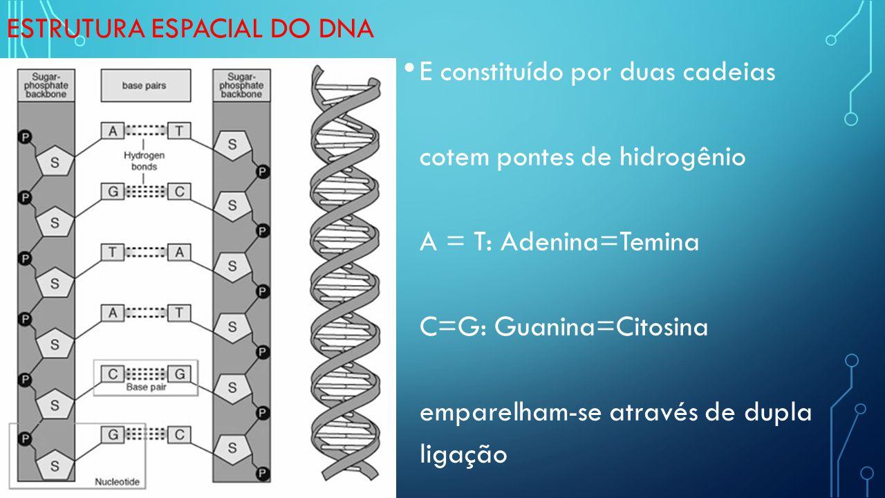 ESTRUTURA ESPACIAL DO DNA E constituído por duas cadeias cotem pontes de hidrogênio A = T: Adenina=Temina C=G: Guanina=Citosina emparelham-se através