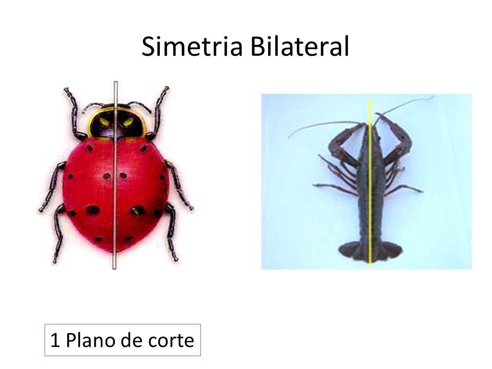 Simetria Bilateral 1 Plano de corte