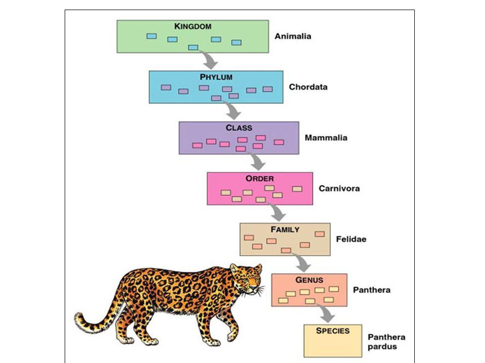 Diferenciação das cavidades corporais: Diblásticos- apenas 2 folhetos embrionários : Ectoderma e Endoderma ( Cnidários ) Triblásticos – 3 folhetos embrionários – Ecto, endo e mesoderma ( demais grupos pluricelulares ) Os tecidos são formados a partir de 3 tipos de folhetos germinativos: