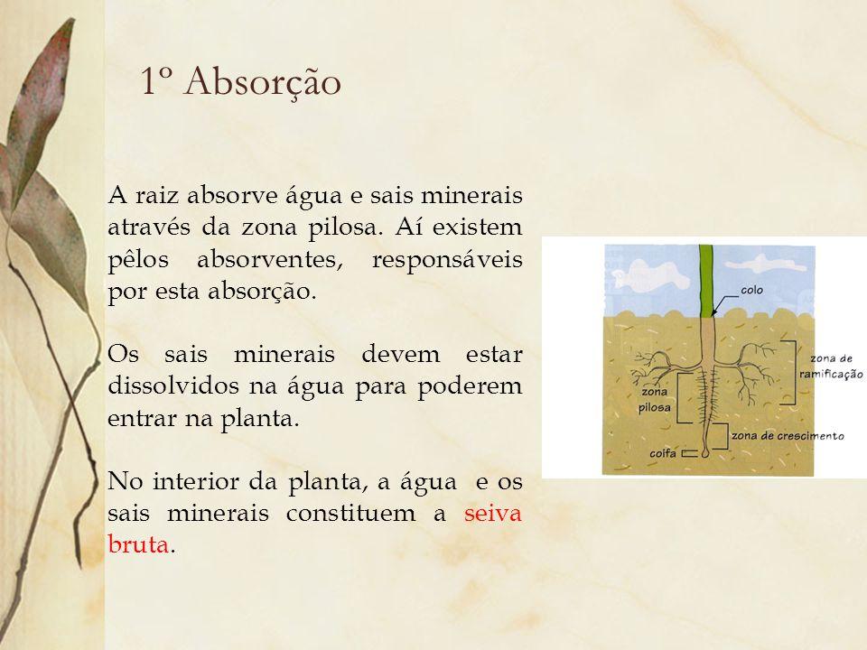 1º Absorção A raiz absorve água e sais minerais através da zona pilosa. Aí existem pêlos absorventes, responsáveis por esta absorção. Os sais minerais