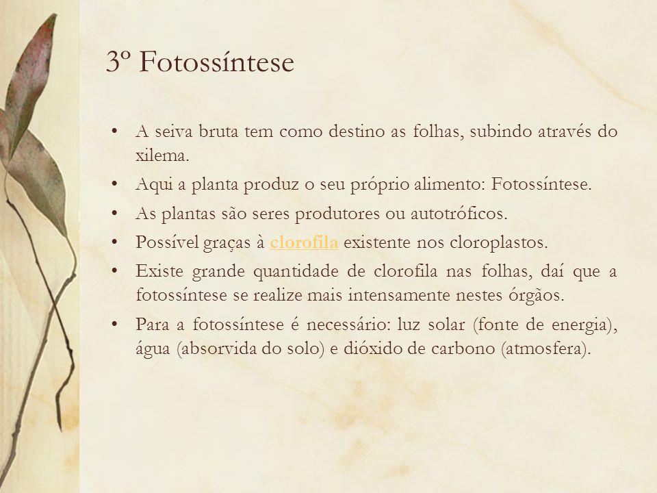3º Fotossíntese A seiva bruta tem como destino as folhas, subindo através do xilema. Aqui a planta produz o seu próprio alimento: Fotossíntese. As pla