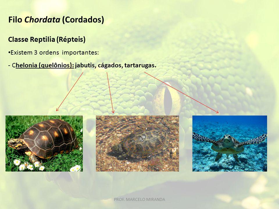 Classe Reptilia (Répteis) Existem 3 ordens importantes: - Chelonia (quelônios): jabutis, cágados, tartarugas. Filo Chordata (Cordados) PROF. MARCELO M