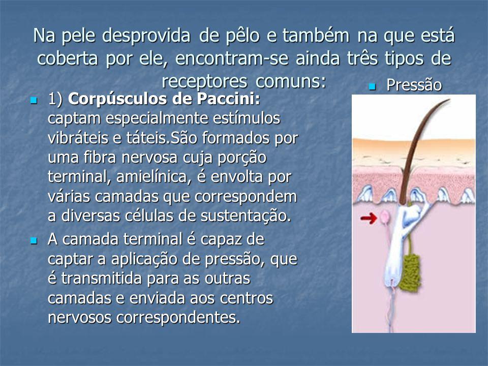 Na pele desprovida de pêlo e também na que está coberta por ele, encontram-se ainda três tipos de receptores comuns: 1) Corpúsculos de Paccini: captam