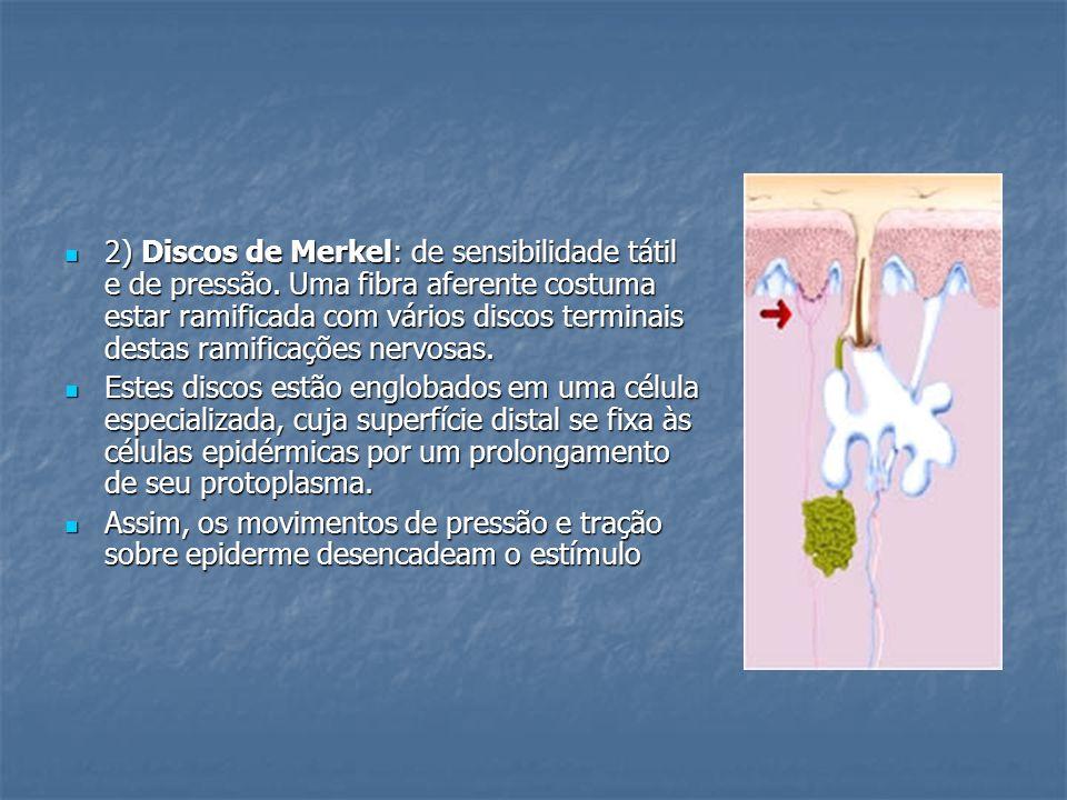 2) Discos de Merkel: de sensibilidade tátil e de pressão. Uma fibra aferente costuma estar ramificada com vários discos terminais destas ramificações
