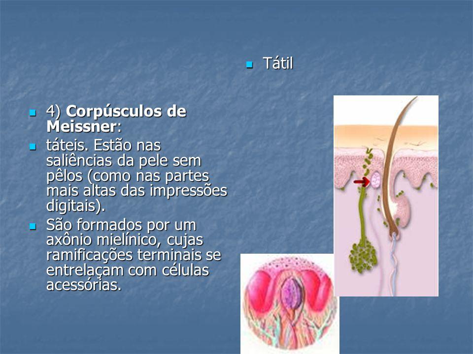 4) Corpúsculos de Meissner: 4) Corpúsculos de Meissner: táteis. Estão nas saliências da pele sem pêlos (como nas partes mais altas das impressões digi