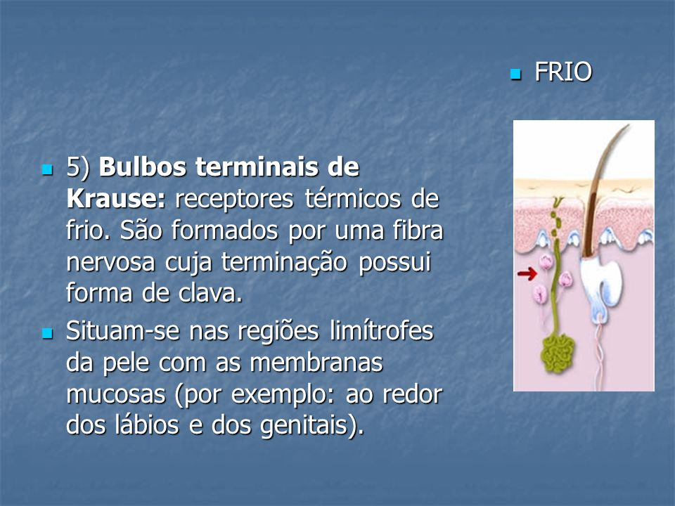 5) Bulbos terminais de Krause: receptores térmicos de frio. São formados por uma fibra nervosa cuja terminação possui forma de clava. 5) Bulbos termin