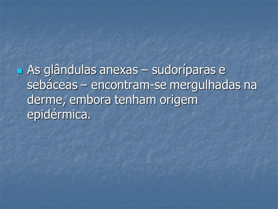 As glândulas anexas – sudoríparas e sebáceas – encontram-se mergulhadas na derme, embora tenham origem epidérmica. As glândulas anexas – sudoríparas e