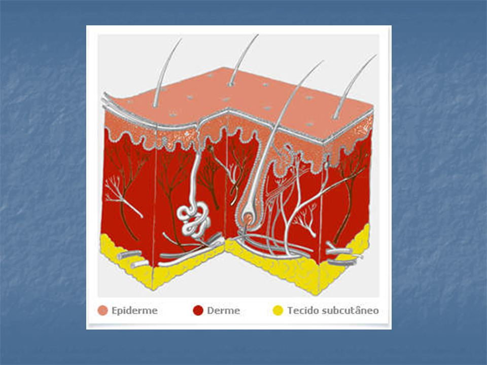 Toda a superfície cutânea está provida de terminações nervosas capazes de captar estímulos térmicos, mecânicos ou dolorosos.