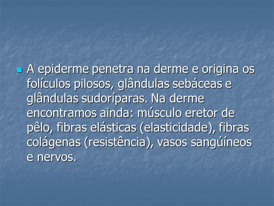 A epiderme penetra na derme e origina os folículos pilosos, glândulas sebáceas e glândulas sudoríparas. Na derme encontramos ainda: músculo eretor de