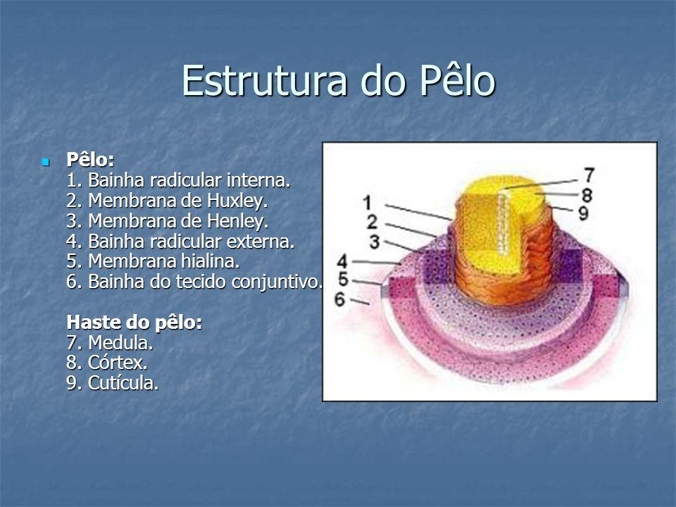 Estrutura do Pêlo Pêlo: 1. Bainha radicular interna. 2. Membrana de Huxley. 3. Membrana de Henley. 4. Bainha radicular externa. 5. Membrana hialina. 6