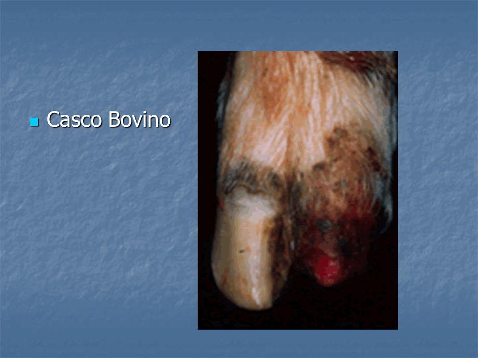 Casco Bovino Casco Bovino