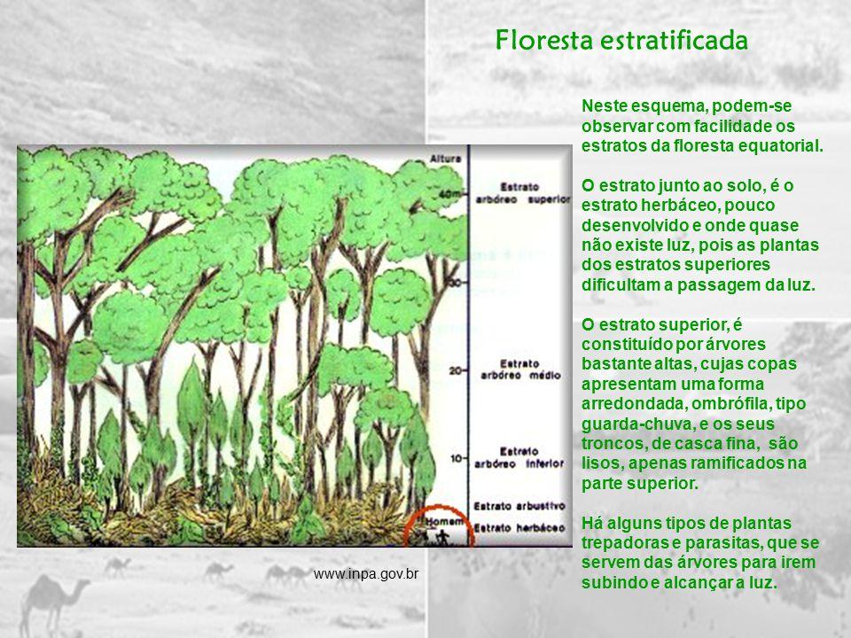 Neste esquema, podem-se observar com facilidade os estratos da floresta equatorial.