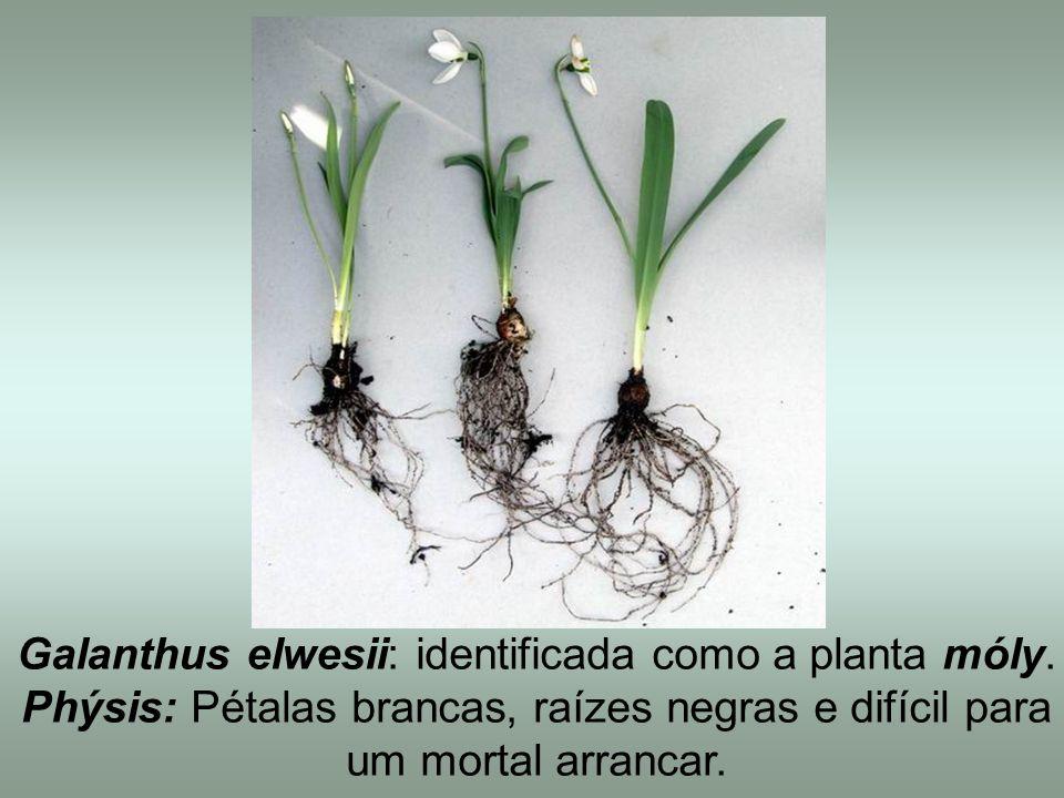 Galanthus elwesii: identificada como a planta móly.