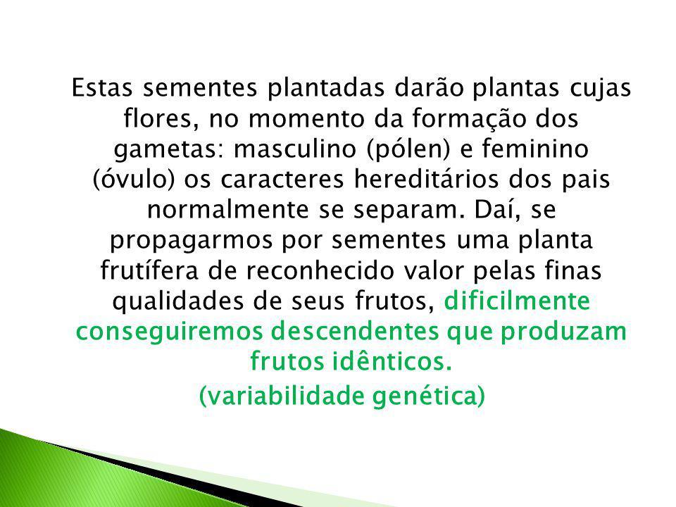 Estas sementes plantadas darão plantas cujas flores, no momento da formação dos gametas: masculino (pólen) e feminino (óvulo) os caracteres hereditários dos pais normalmente se separam.