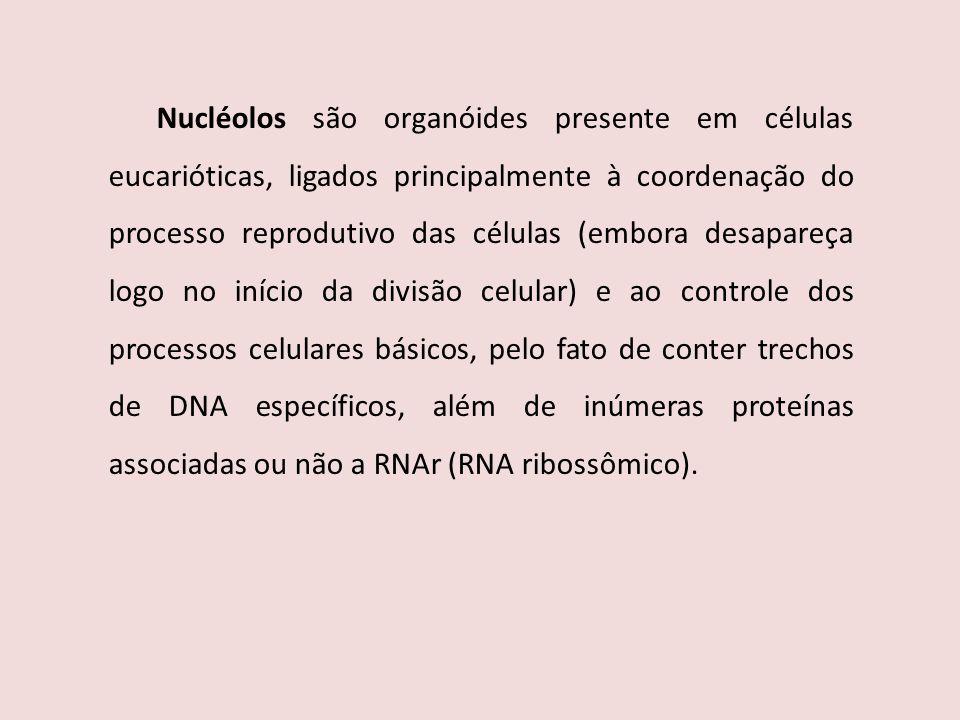 Nucléolos são organóides presente em células eucarióticas, ligados principalmente à coordenação do processo reprodutivo das células (embora desapareça