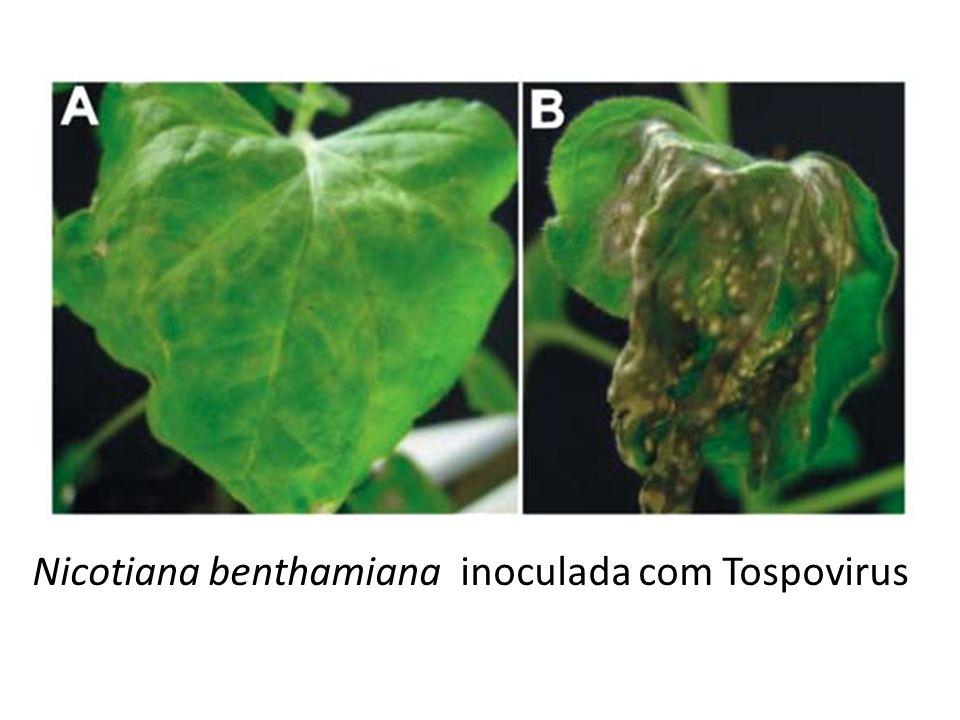 Nicotiana benthamiana inoculada com Tospovirus