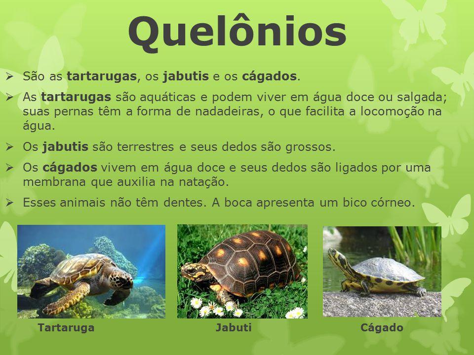 Quelônios  São as tartarugas, os jabutis e os cágados.  As tartarugas são aquáticas e podem viver em água doce ou salgada; suas pernas têm a forma d