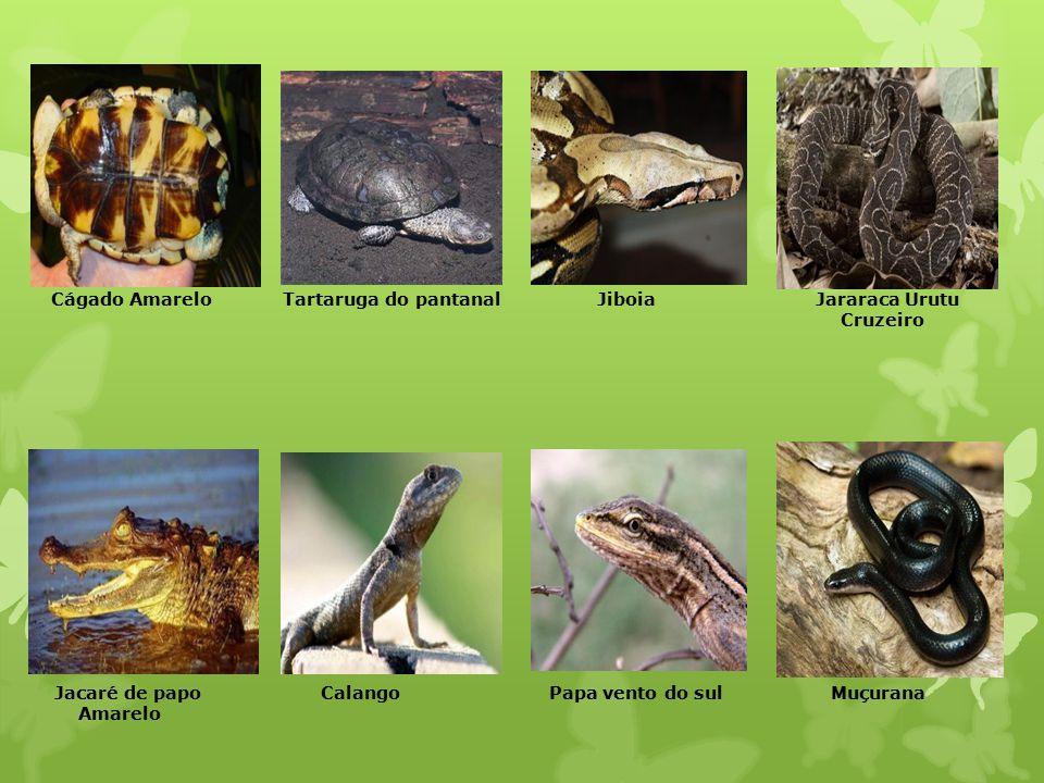 Cágado Amarelo Tartaruga do pantanal Jiboia Jararaca Urutu Cruzeiro Jacaré de papo Calango Papa vento do sul Muçurana Amarelo