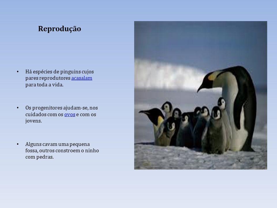 Reprodução Há espécies de pinguins cujos pares reprodutores acasalam para toda a vida.acasalam Os progenitores ajudam-se, nos cuidados com os ovos e com os jovens.ovos Alguns cavam uma pequena fossa, outros constroem o ninho com pedras.