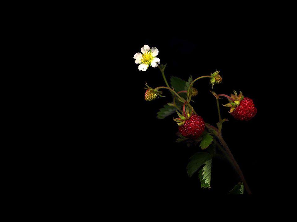 Os morangos silvestres que em silêncio florescem às margens da estrada da Vida.