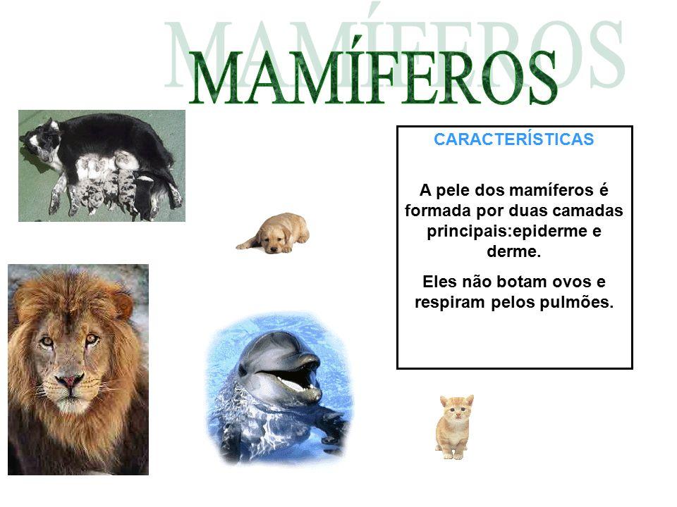 CARACTERÍSTICAS A pele dos mamíferos é formada por duas camadas principais:epiderme e derme. Eles não botam ovos e respiram pelos pulmões.