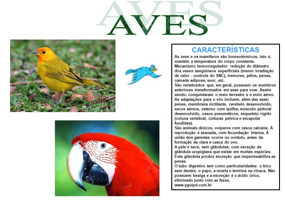 CARACTERÍSTICAS As aves e os mamíferos são homeotérmicos, isto é, mantém a temperatura do corpo constante. Mecanismo termorregulador: redução do diâme