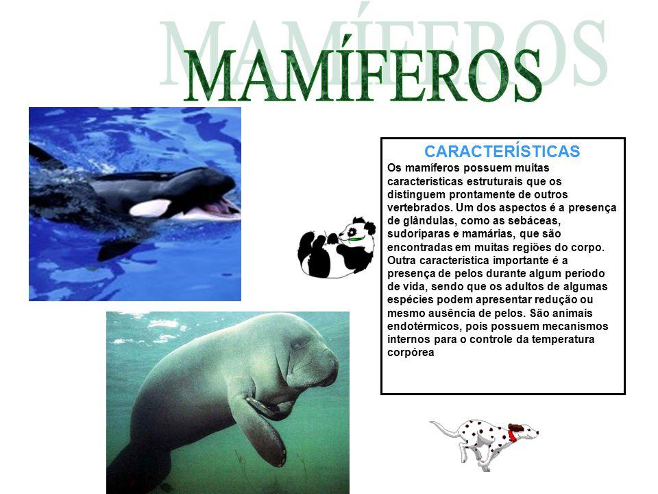 CARACTERÍSTICAS Os mamíferos possuem muitas características estruturais que os distinguem prontamente de outros vertebrados. Um dos aspectos é a prese