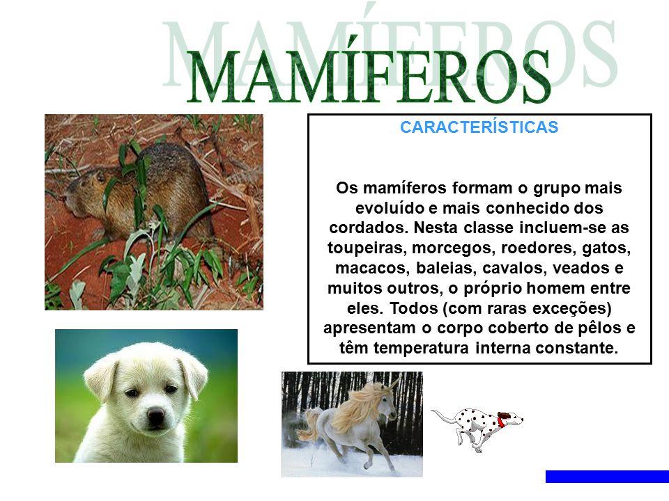 CARACTERÍSTICAS Os mamíferos formam o grupo mais evoluído e mais conhecido dos cordados. Nesta classe incluem-se as toupeiras, morcegos, roedores, gat
