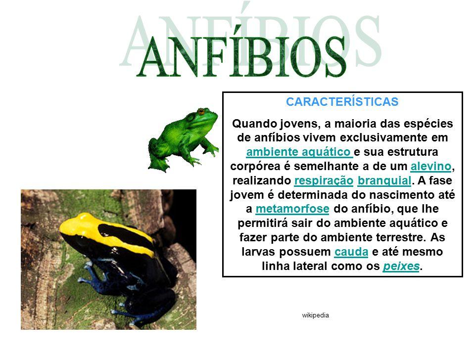 CARACTERÍSTICAS Quando jovens, a maioria das espécies de anfíbios vivem exclusivamente em ambiente aquático e sua estrutura corpórea é semelhante a de