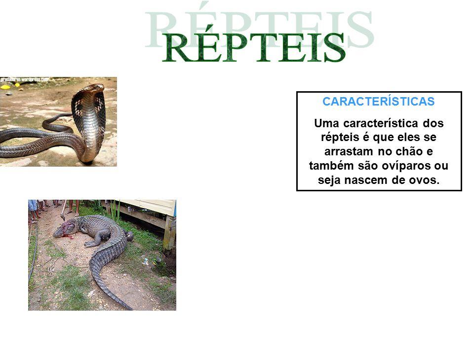 CARACTERÍSTICAS Uma característica dos répteis é que eles se arrastam no chão e também são ovíparos ou seja nascem de ovos.