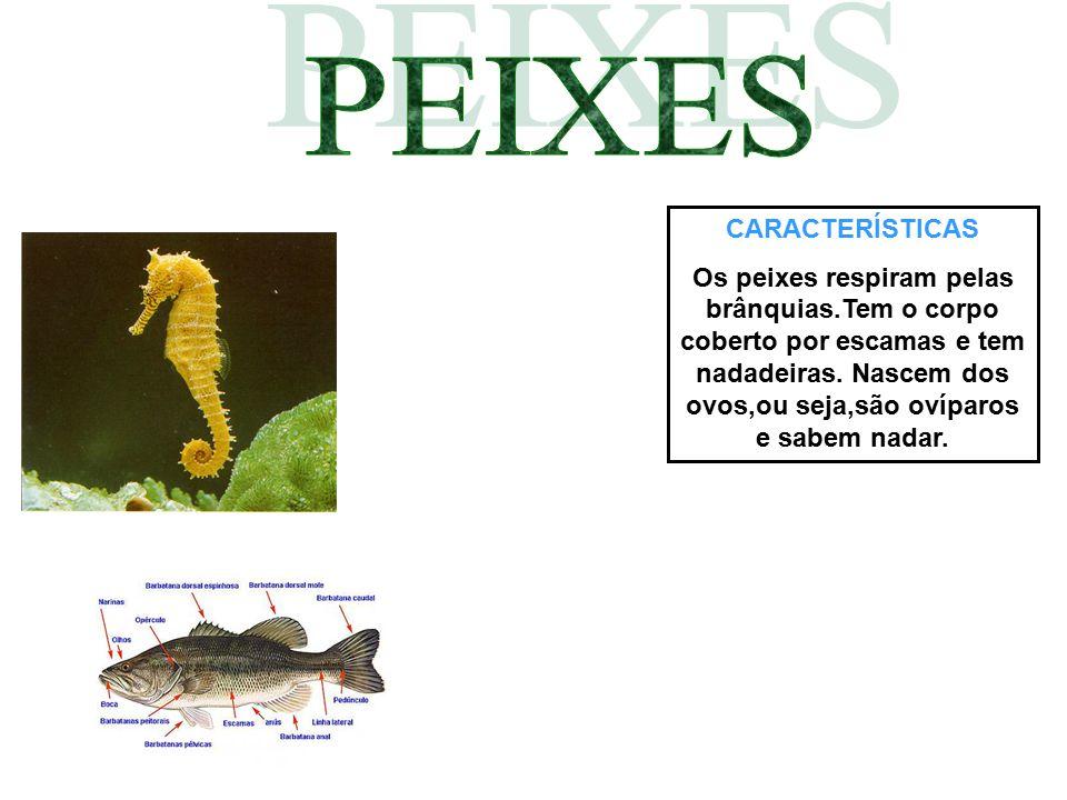 CARACTERÍSTICAS Os peixes respiram pelas brânquias.Tem o corpo coberto por escamas e tem nadadeiras. Nascem dos ovos,ou seja,são ovíparos e sabem nada