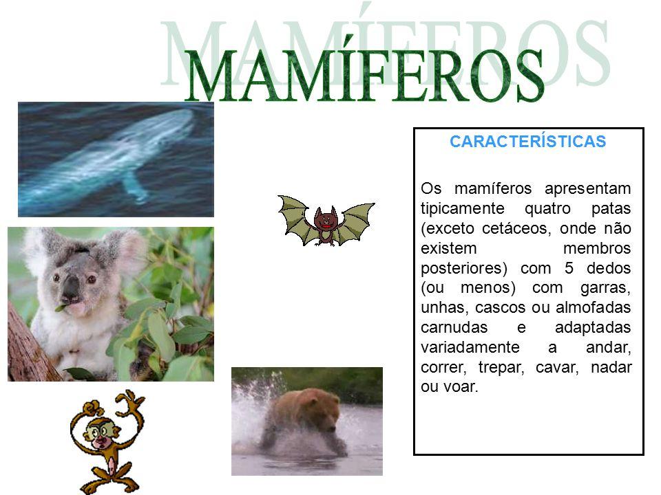 CARACTERÍSTICAS Os mamíferos apresentam tipicamente quatro patas (exceto cetáceos, onde não existem membros posteriores) com 5 dedos (ou menos) com ga