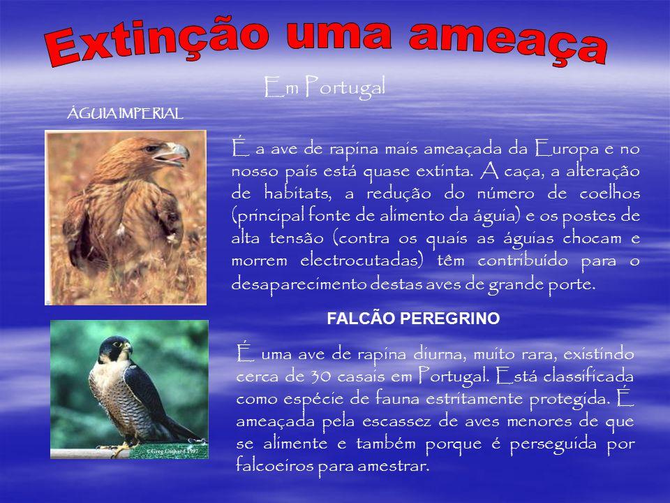Em Portugal ÁGUIA IMPERIAL É a ave de rapina mais ameaçada da Europa e no nosso país está quase extinta. A caça, a alteração de habitats, a redução do