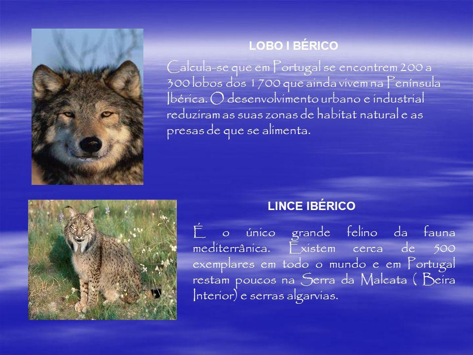 Em Portugal: ÁGUIA IMPERIAL É o único grande felino da fauna mediterrânica. Existem cerca de 500 exemplares em todo o mundo e em Portugal restam pouco