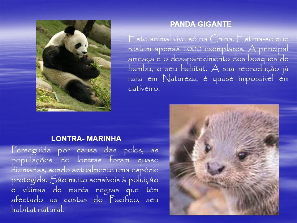 Este animal vive só na China. Estima-se que restem apenas 1000 exemplares. A principal ameaça é o desaparecimento dos bosques de bambu, o seu habitat.
