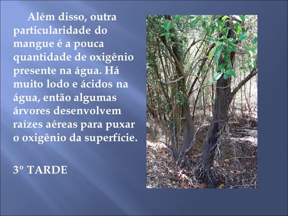Além disso, outra particularidade do mangue é a pouca quantidade de oxigênio presente na água. Há muito lodo e ácidos na água, então algumas árvores d