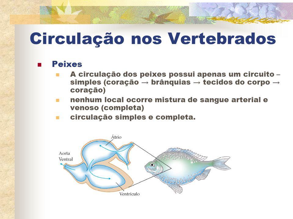Circulação nos Vertebrados Peixes A circulação dos peixes possui apenas um circuito – simples (coração → brânquias → tecidos do corpo → coração) nenhu