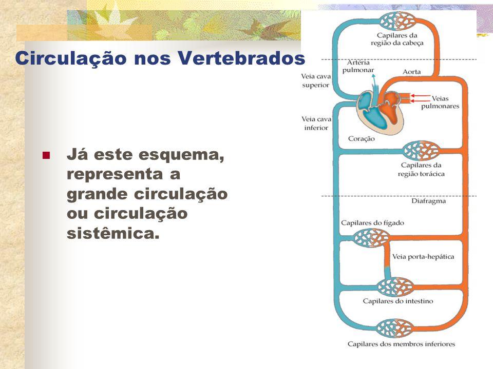 Circulação nos Vertebrados Já este esquema, representa a grande circulação ou circulação sistêmica.