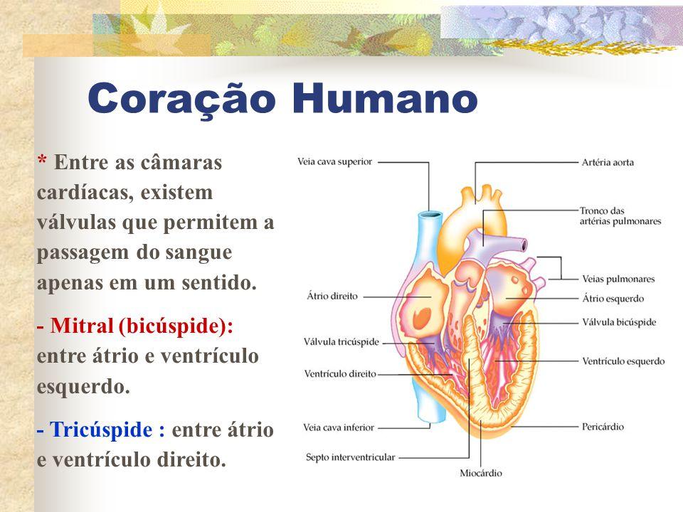 Coração Humano * Entre as câmaras cardíacas, existem válvulas que permitem a passagem do sangue apenas em um sentido. - Mitral (bicúspide): entre átri