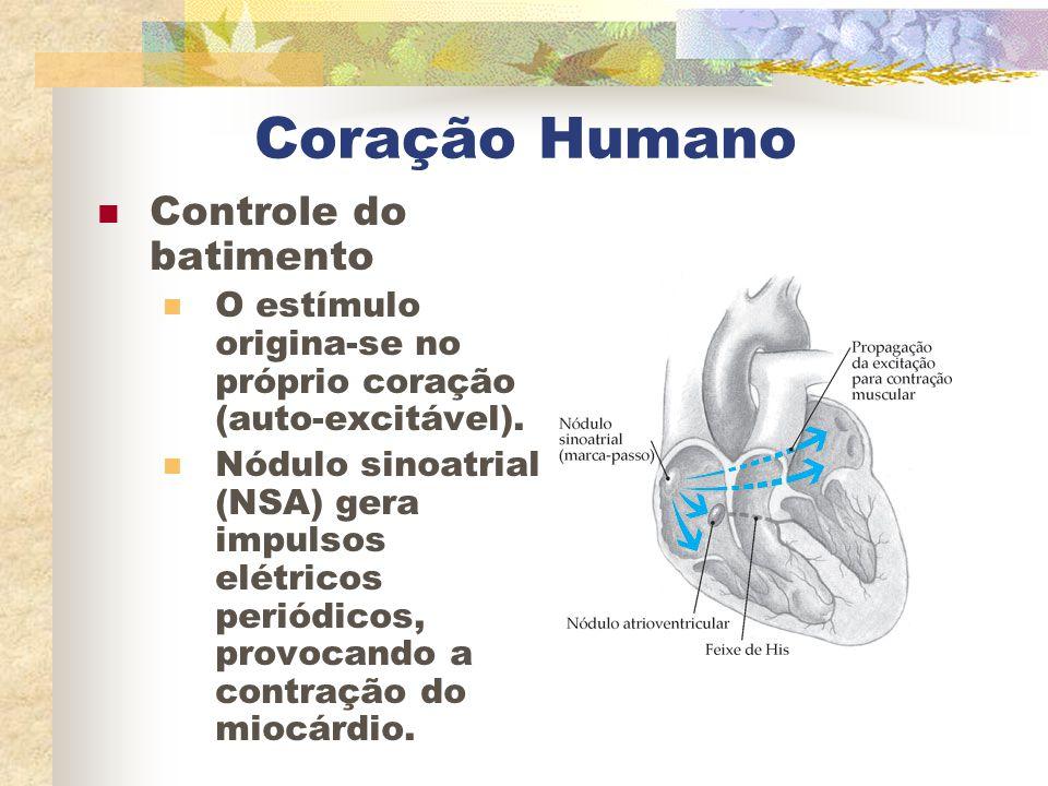Coração Humano Controle do batimento O estímulo origina-se no próprio coração (auto-excitável). Nódulo sinoatrial (NSA) gera impulsos elétricos periód