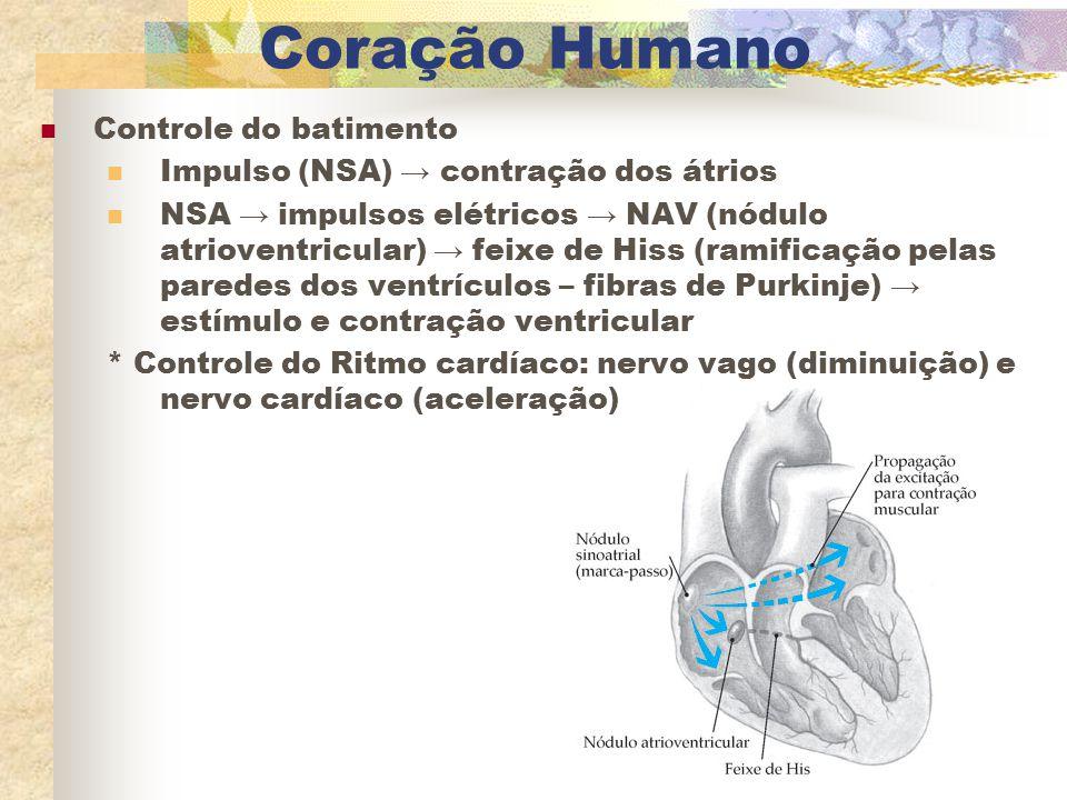 Coração Humano Controle do batimento Impulso (NSA) → contração dos átrios NSA → impulsos elétricos → NAV (nódulo atrioventricular) → feixe de Hiss (ra
