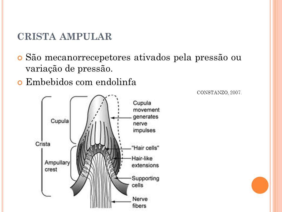 CRISTA AMPULAR São mecanorrecepetores ativados pela pressão ou variação de pressão.