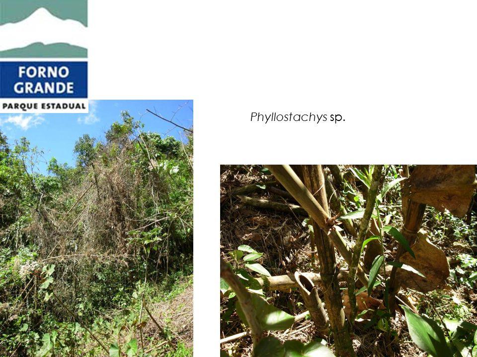 Phyllostachys sp.