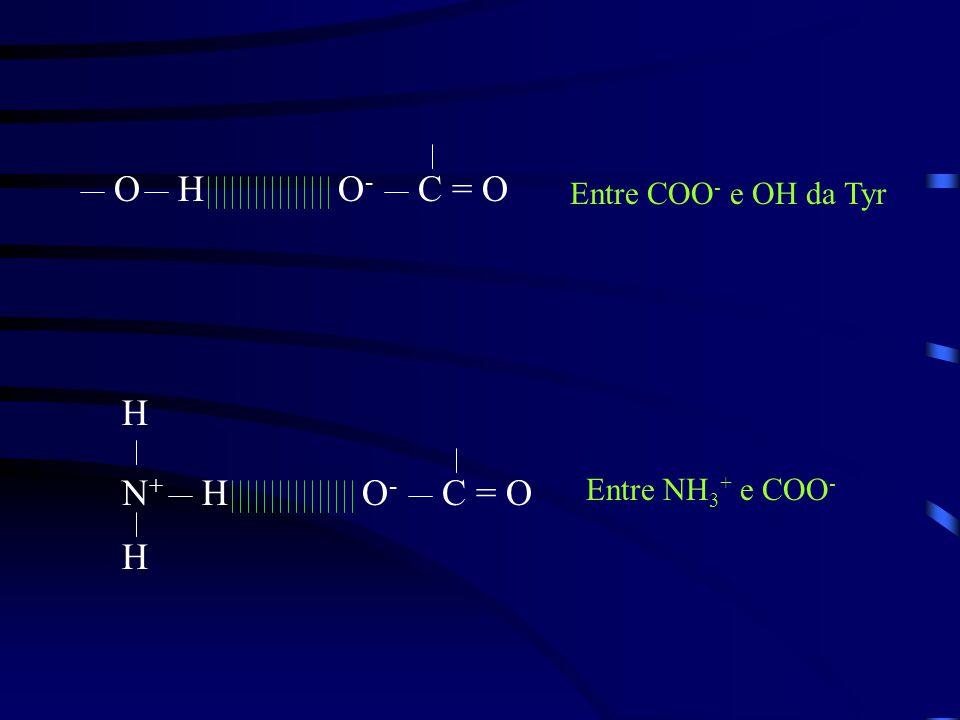 HO-O- OC = O HO-O- N+N+ H H Entre COO - e OH da Tyr Entre NH 3 + e COO -